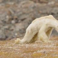 Starving Polar Bear on Iceless Land photo