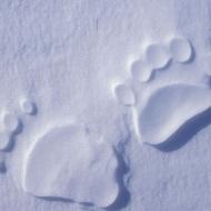Polar Bear Endangered Species